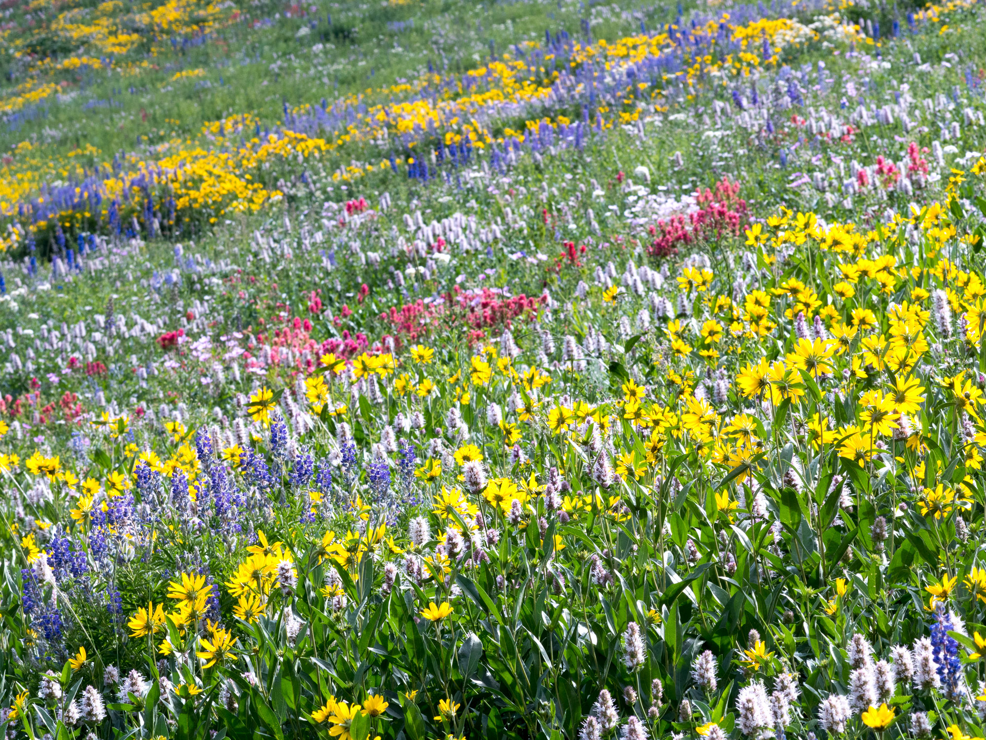 Alta Wildflowers